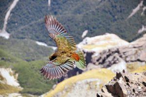 kea flying